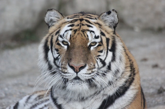 Tigermonat 2018